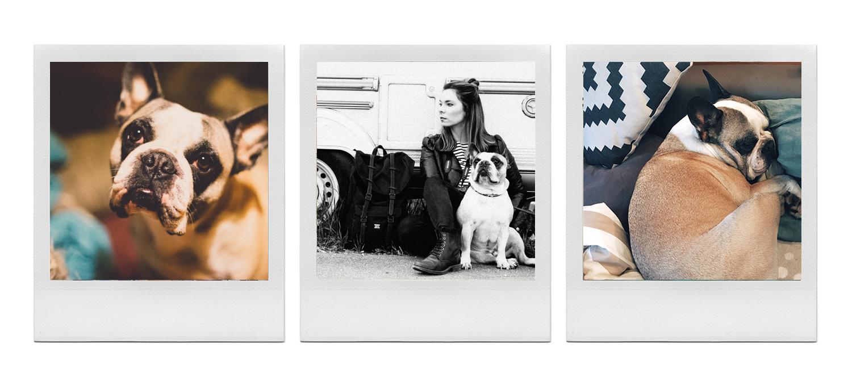 French Bulldog Polaroid Serie